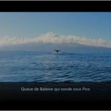 Baleine qui sonde, Acores
